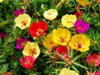 6 loại hoa tuyệt đẹp dành cho nhà có ban công hướng Tây